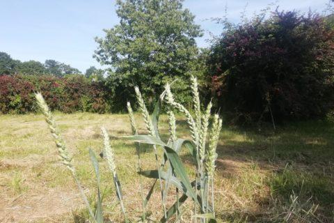 L'été arrive, le blé jaunit, et les nouvelles moissons de Brin de Paille s'annoncent belles !